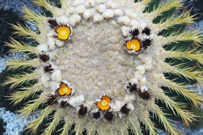 Die gelbe Kaktus-Blume, die im Garten blüht stockbilder
