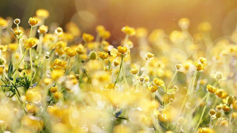 Die gelben Blumen einer Butterblume lizenzfreies stockfoto