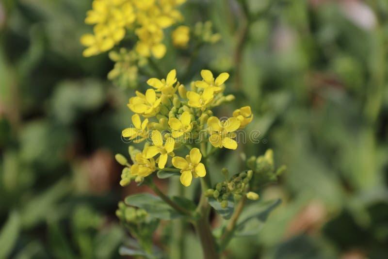 Die gelben Blumen ist lebendig und neu stockbilder