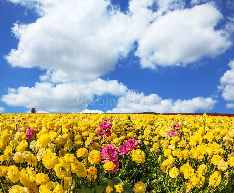 Die gelben Gartenbutterblumeen - Ranunculus stockfotos