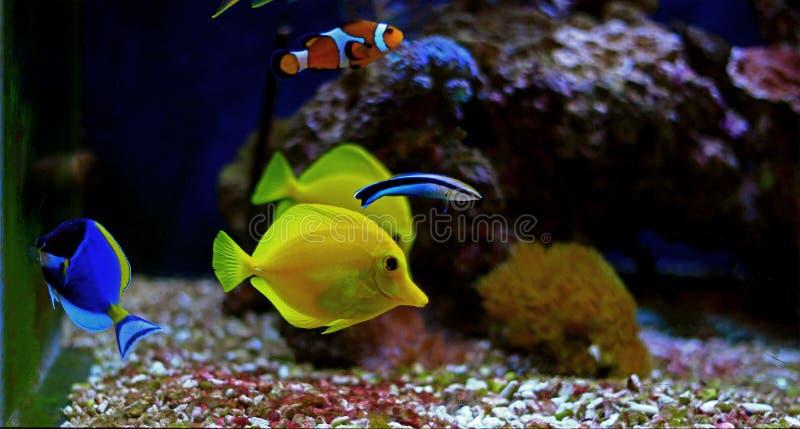 Die gelben Geruch Zebrasoma-flavescens lizenzfreie stockfotos