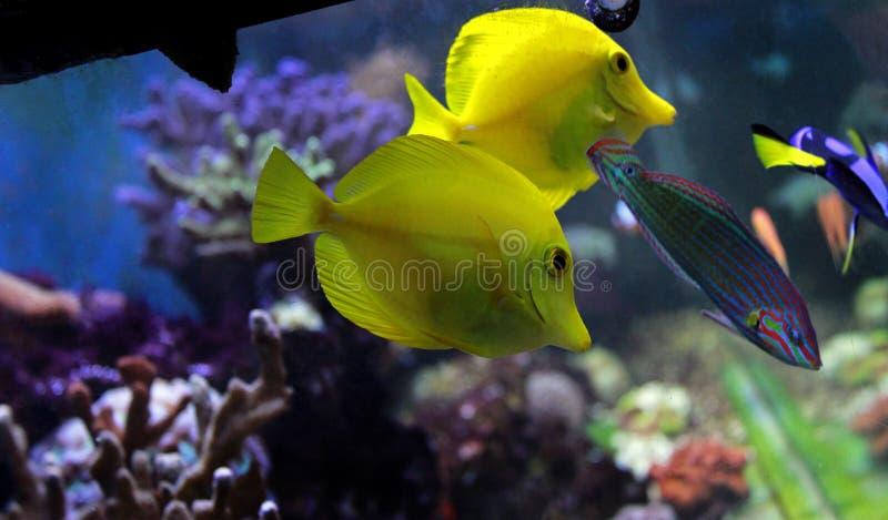 Die gelben Geruch Zebrasoma-flavescens stockbild