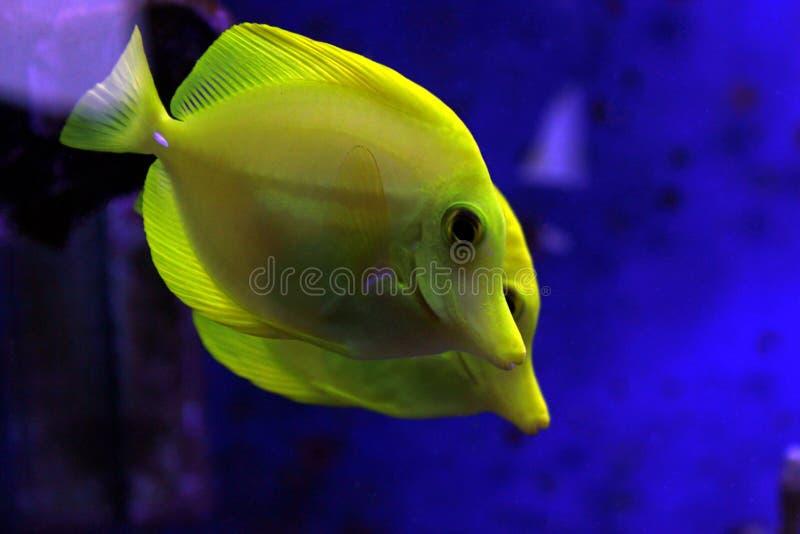 Die gelben Geruch Zebrasoma-flavescens stockfotografie