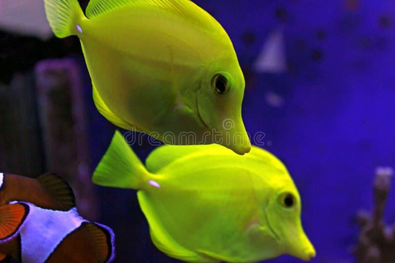 Die gelben Geruch Zebrasoma-flavescens stockfotos