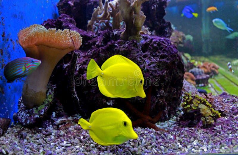 Die gelben Geruch Zebrasoma-flavescens lizenzfreies stockbild