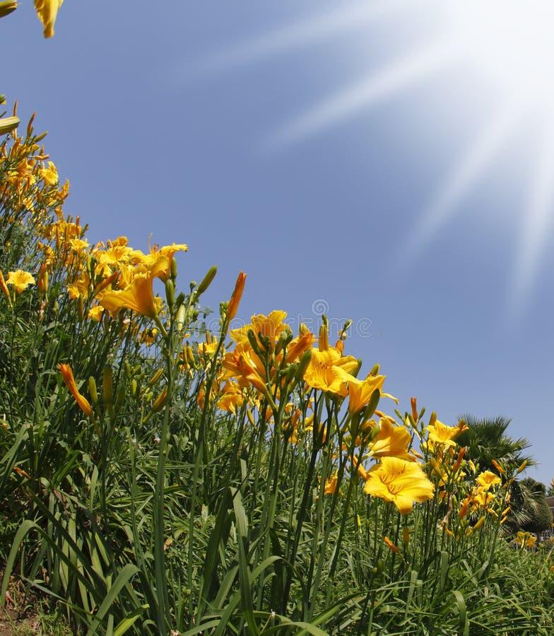 Die gelben und orange Lilien im Früjahr lizenzfreie stockbilder
