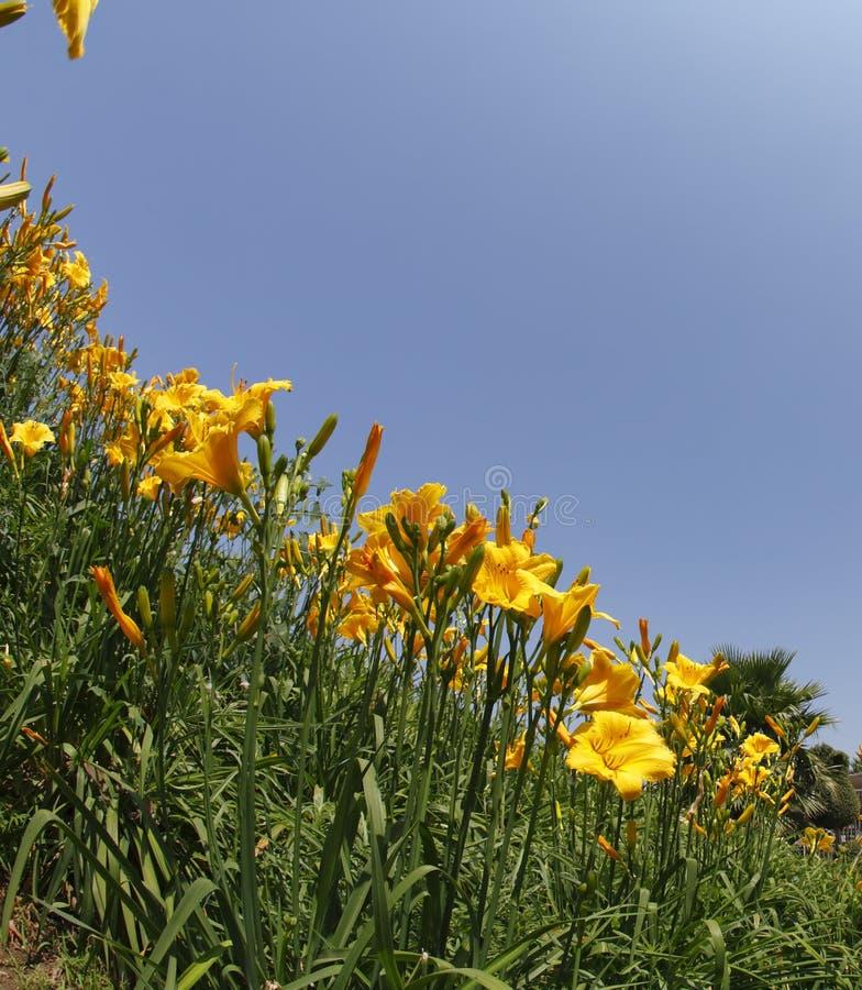 Die gelben und orange Lilien im Früjahr lizenzfreie stockfotografie