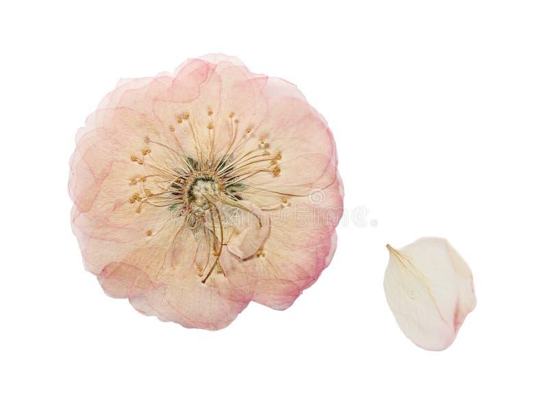 Die gepresste und getrocknete rosa wilde Blume stieg Getrennt lizenzfreie stockbilder