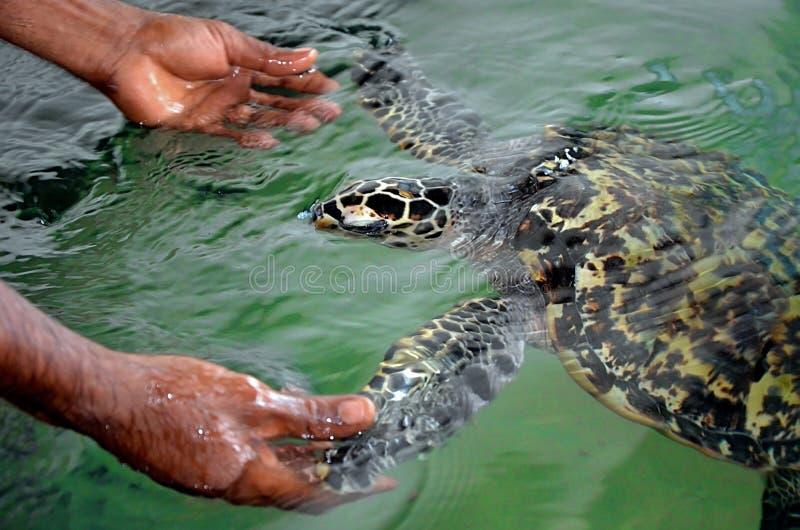 Die gerettete Schildkröte hält seine Flipper mit den menschlichen Händen Meeresschildkröte-Erhaltungs-Forschungsprojekt in Bentot stockfotografie