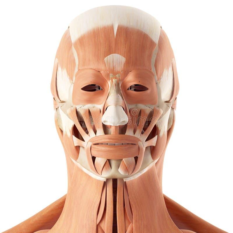 Großzügig Diagramm Der Gesichtsmuskeln Ideen - Menschliche Anatomie ...