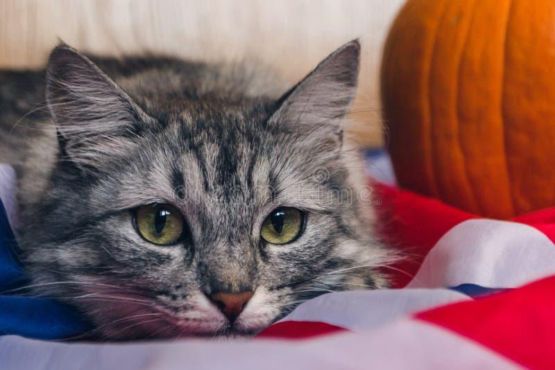 Die gestreifte graue Katze betrachtet playfully gerade der Kamera Kürbise auf der britischen Flagge Tapeten für Feiertag stockfotografie
