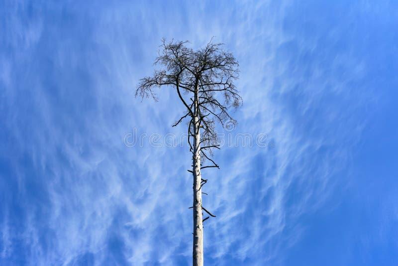 Die getrocknete Kiefer im Himmel lizenzfreie stockfotos