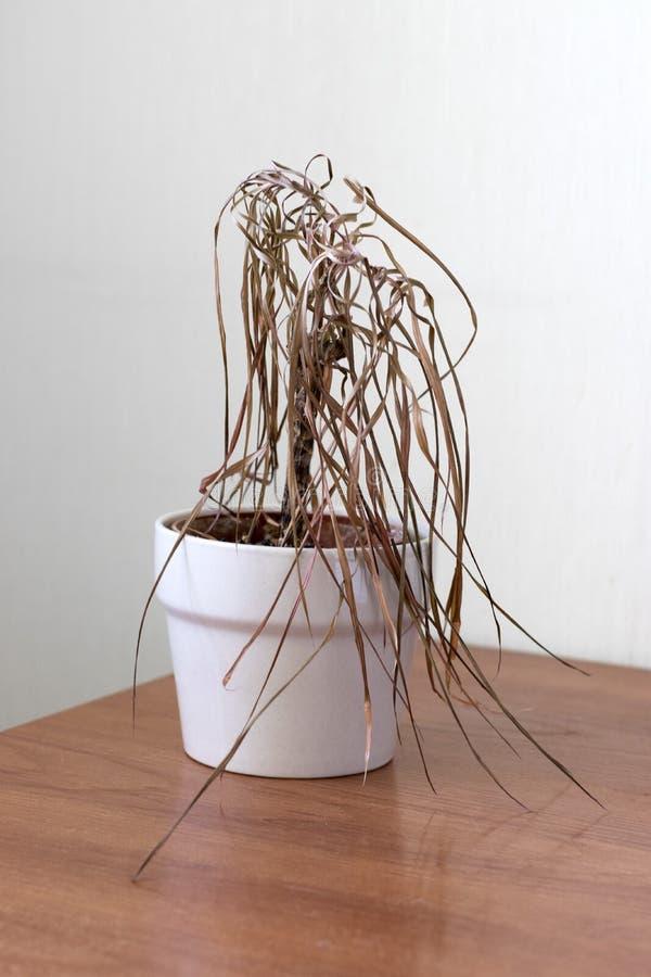 Die getrocknete Zimmerpflanze stockfoto