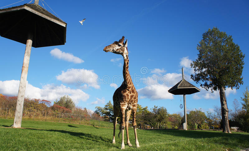Lutschende Giraffe