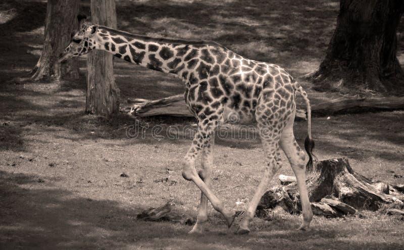 Die Giraffe lizenzfreie stockfotos