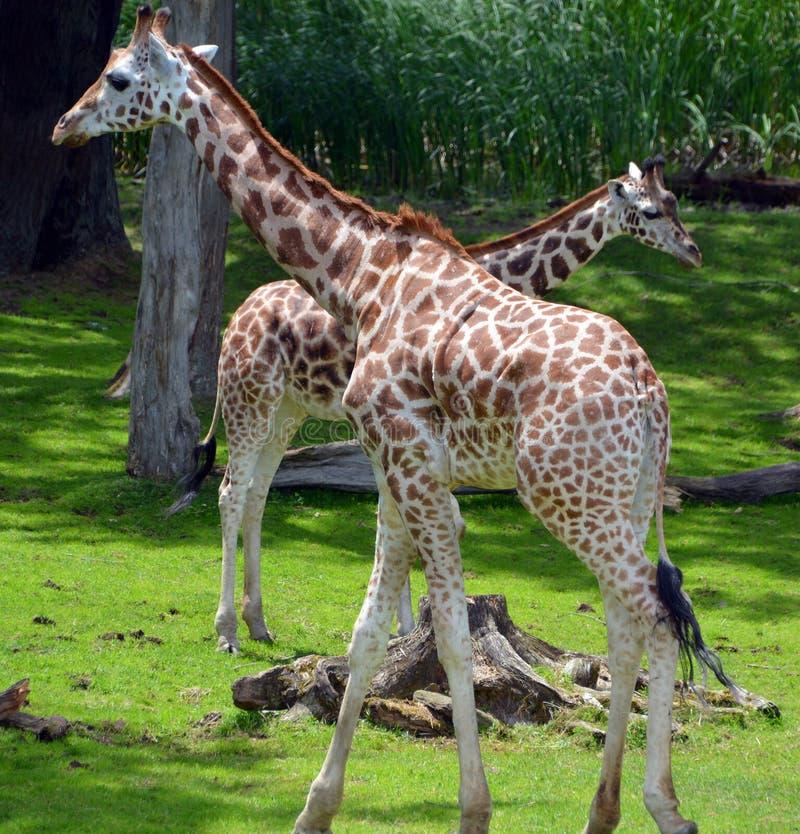 Die Giraffe stockbilder