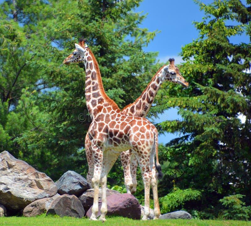 Die Giraffe lizenzfreie stockbilder