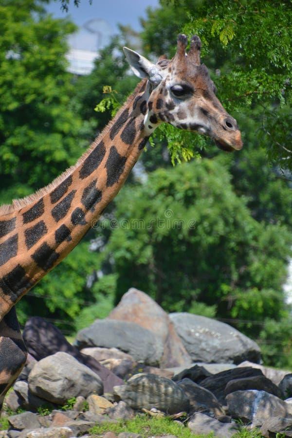 Die Giraffe lizenzfreies stockfoto