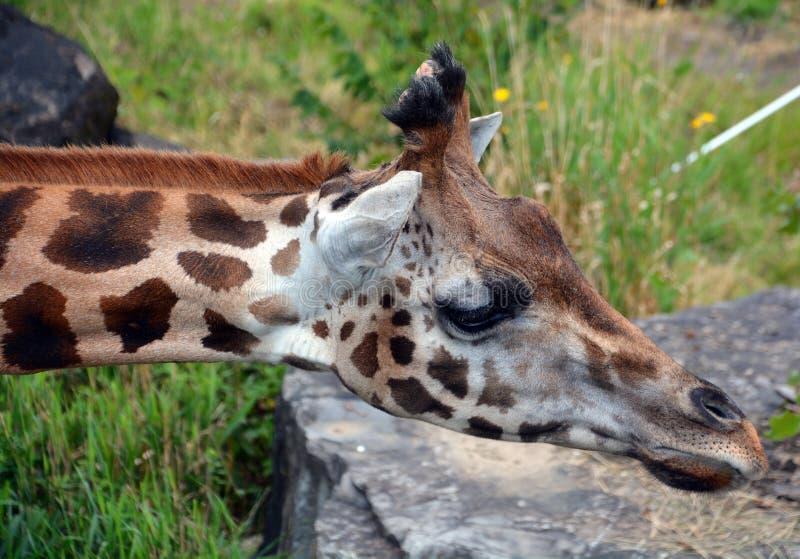 Die Giraffe lizenzfreies stockbild
