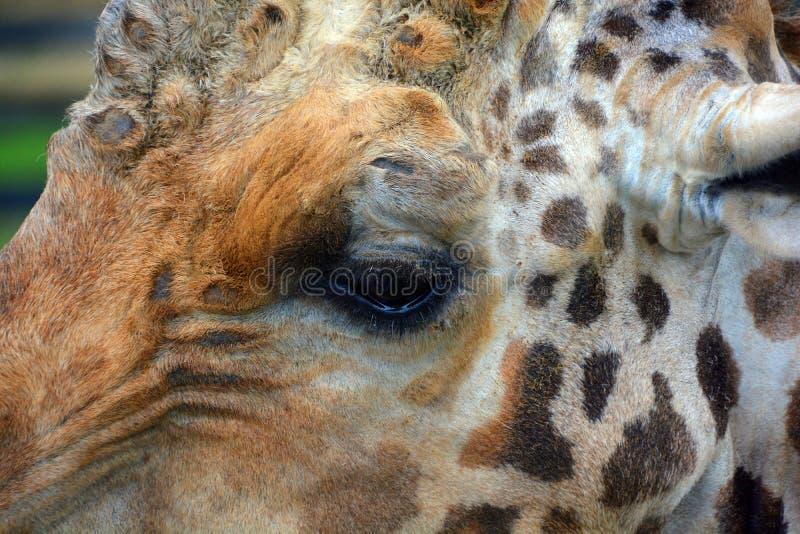 Die Giraffe stockfoto