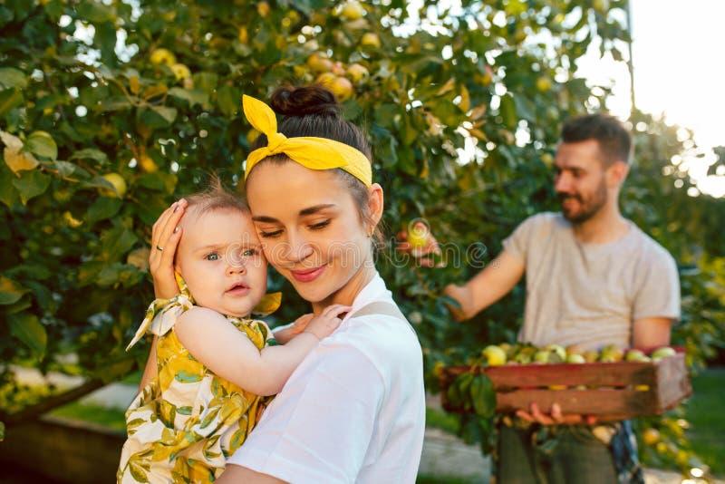 Die glückliche junge Familie während der Sammelnäpfel in einem Garten draußen stockfoto
