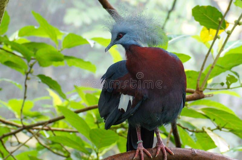 Die größte extant Taube, Victoria-Krontaube, Goura Victoria Blau färbte Vogel mit rotem Auge und schönem fächerförmigem Kamm stockbilder