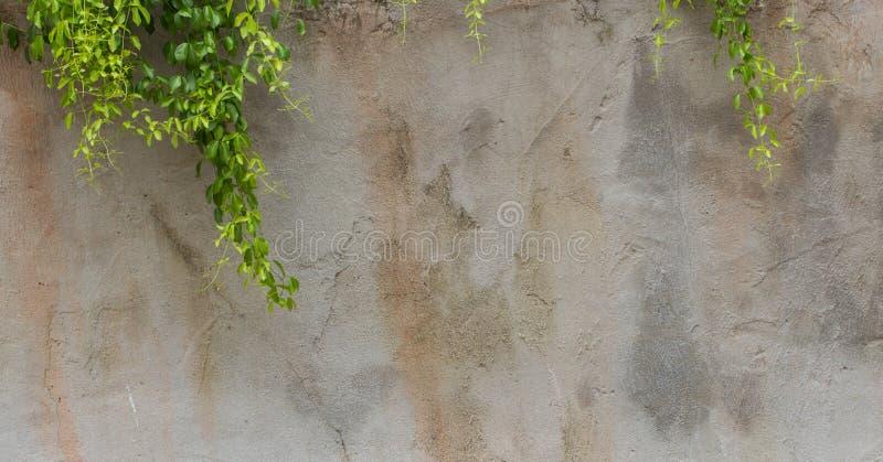 Die grüne Kriechpflanze-Anlage auf der Wand stockbilder