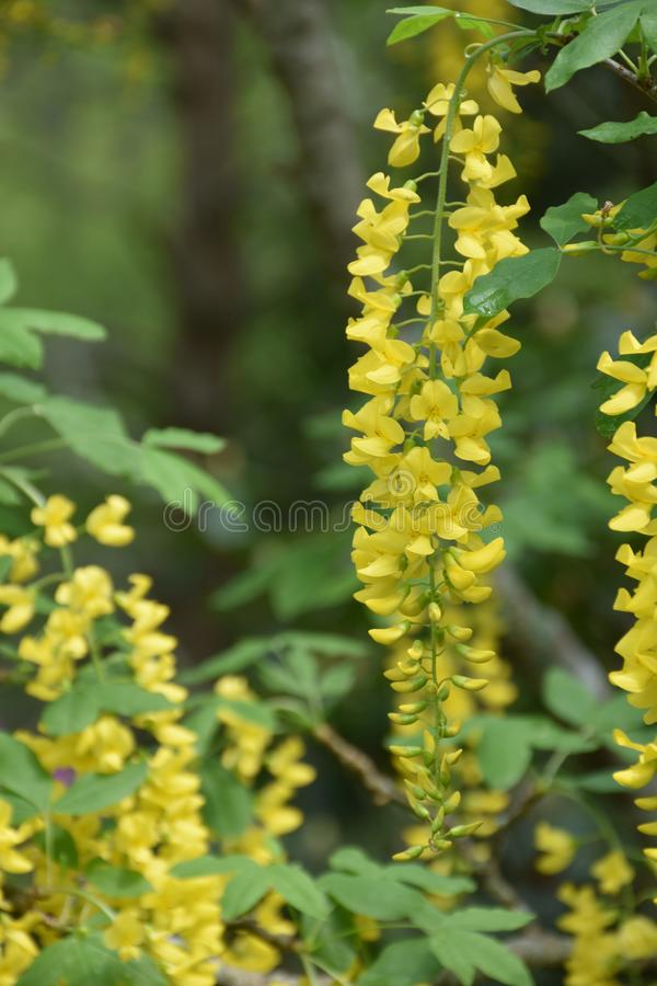 Die grünen und gelben Blumen-Blüten im Frühjahr schlagen lizenzfreie stockbilder