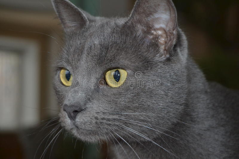 Die graue Katze lizenzfreie stockfotos