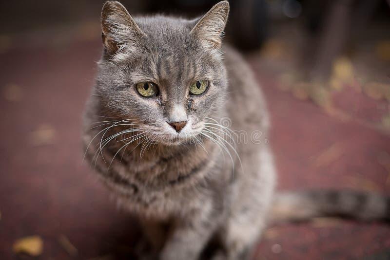 Die graue Katze sitzt äußeres und starrt entlang des Inhabers an lizenzfreies stockfoto