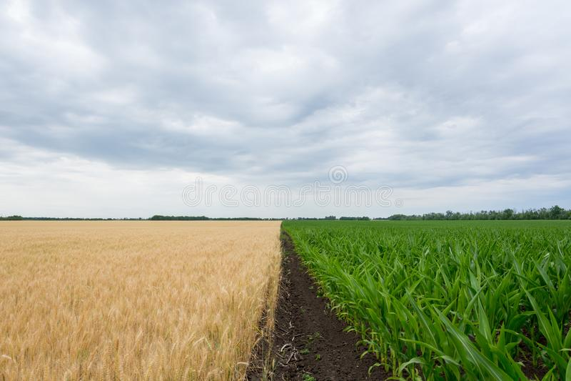 Die Grenzfelder mit dem Reifen der Kornernte, des Roggens, des Weizens oder der Gerste, die Felder grünen mit wachsendem Mais lizenzfreie stockfotografie