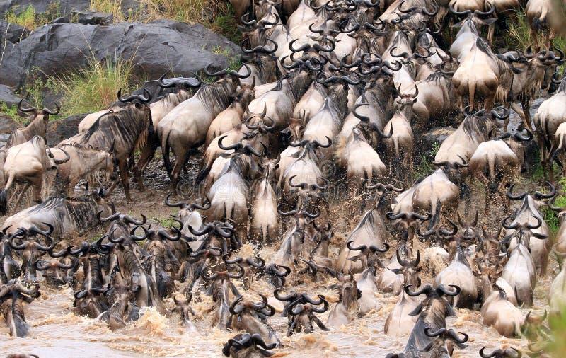 Die große Gnu Migration in Keny stockbilder