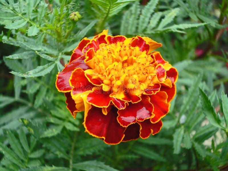 Die große schöne Blume stockfotos