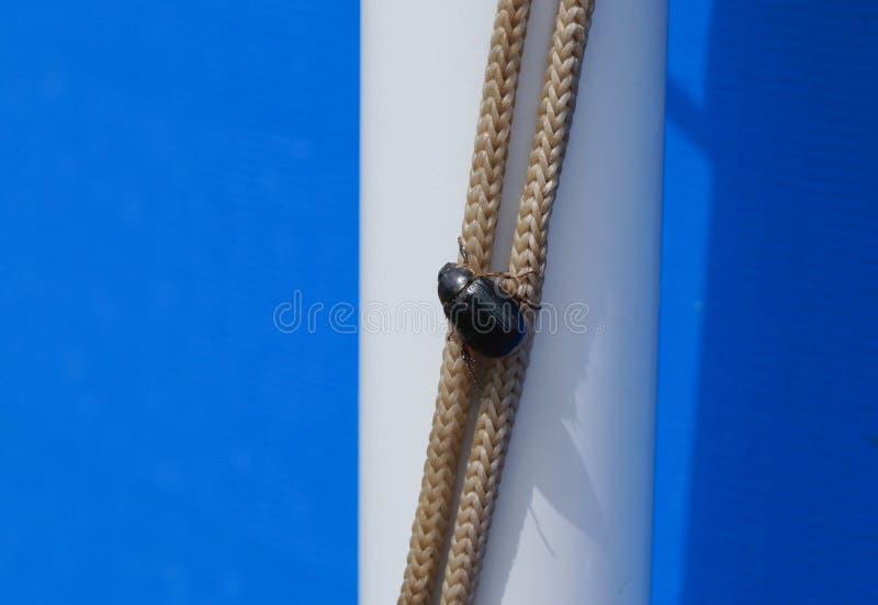 Die große schwarze Wanze sitzt auf einem Seil lizenzfreies stockfoto