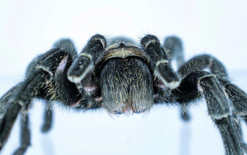 Die große Spinne stockfoto