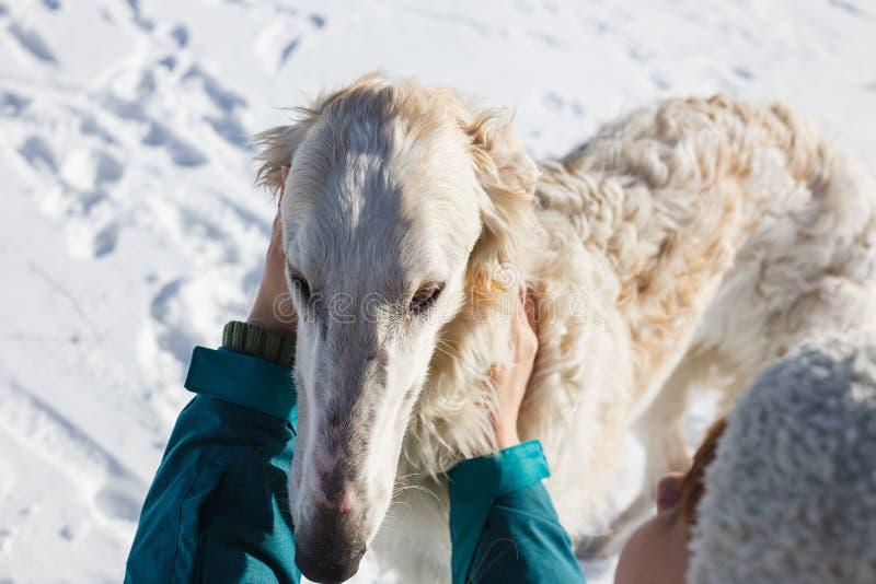 Die Hände der Frauen, die den weißen Jagdhundwindhund streichen Winter Neues Jahr stockbilder
