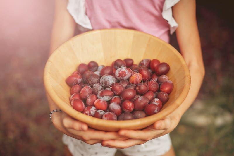 Die Hände der Kinder, die eine hölzerne Schüssel mit reifen Pflaumen halten Ernten im Garten lizenzfreie stockfotografie