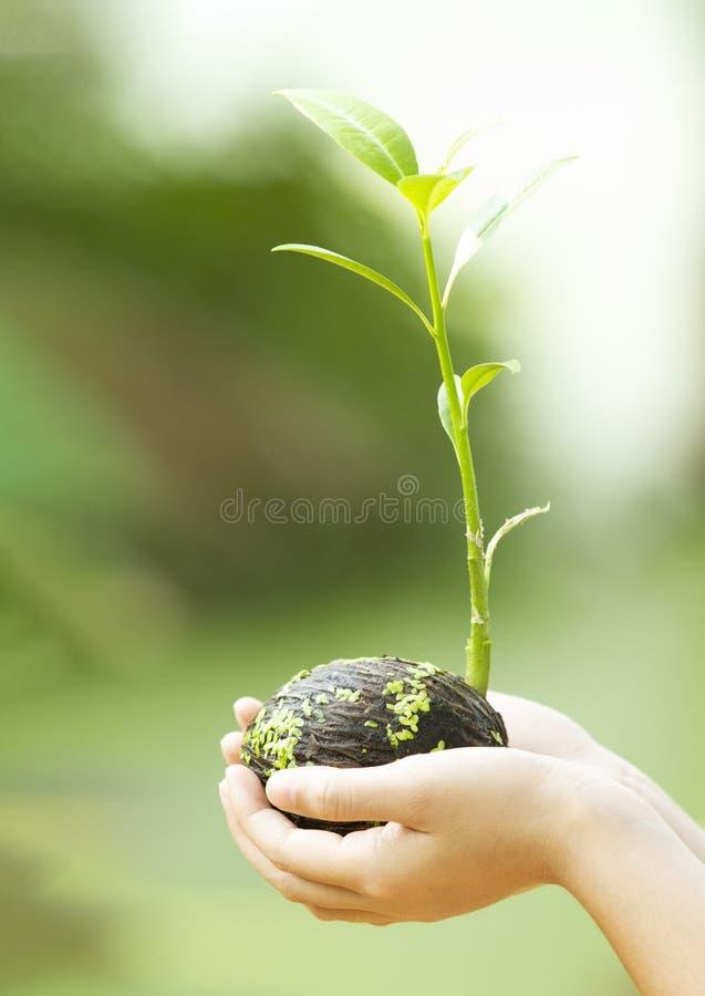Die Hände der Kinder, die Jungpflanze halten stockbild