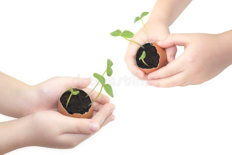 Die Hände der kleine Kinder hält einen blühenden Gurkensämling Kinderhände, die einen Sprössling im Ei mit dem Boden lokalisiert  stockfoto