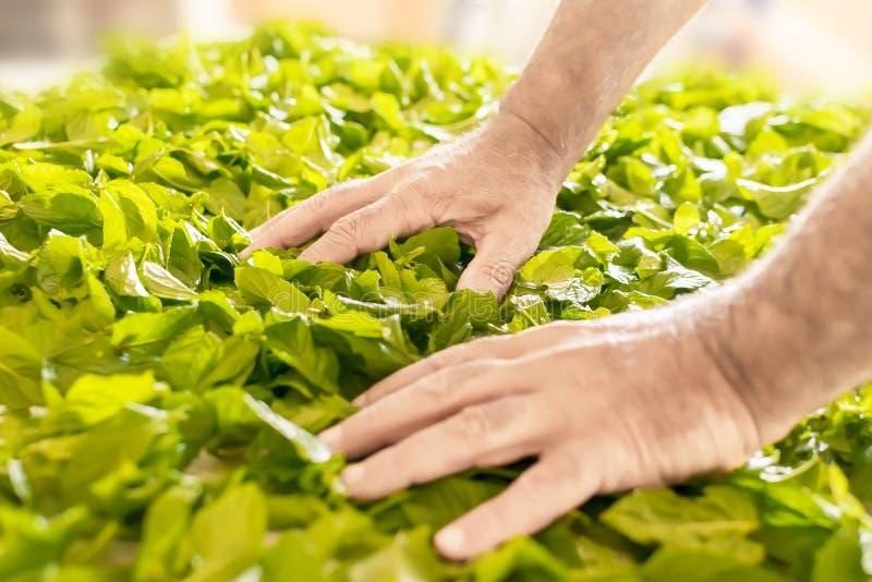Die Hände eines Mannes, der frische tadellose Blätter vorbereitet, um auf dem Tisch zu trocknen Zubereitung der Pfefferminz für L lizenzfreie stockfotografie