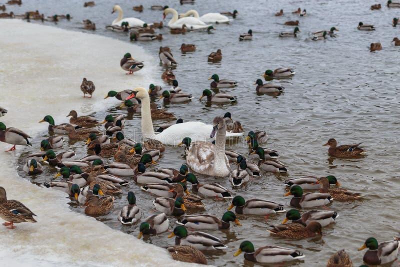 Die Höckerschwäne, die durch Enten umgeben werden, schwimmen im einfrierenden Winterfluß lizenzfreies stockfoto