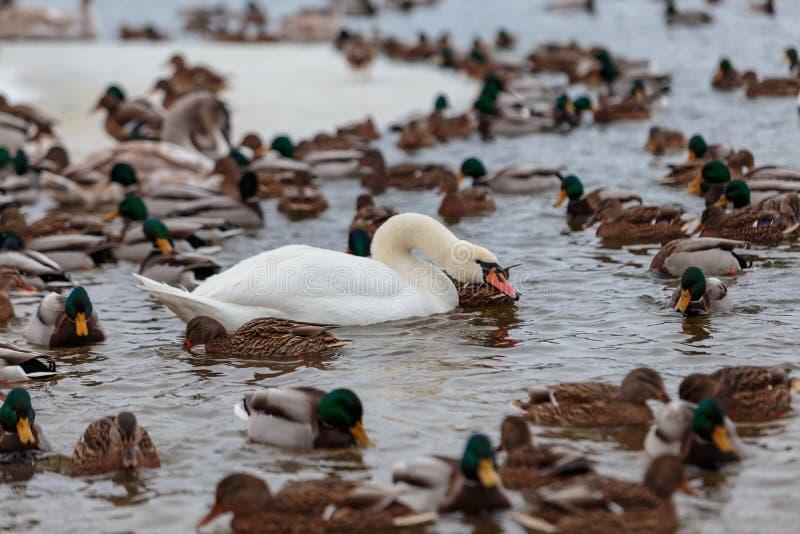 Die Höckerschwäne, die durch Enten umgeben werden, schwimmen im einfrierenden Winterfluß stockfoto
