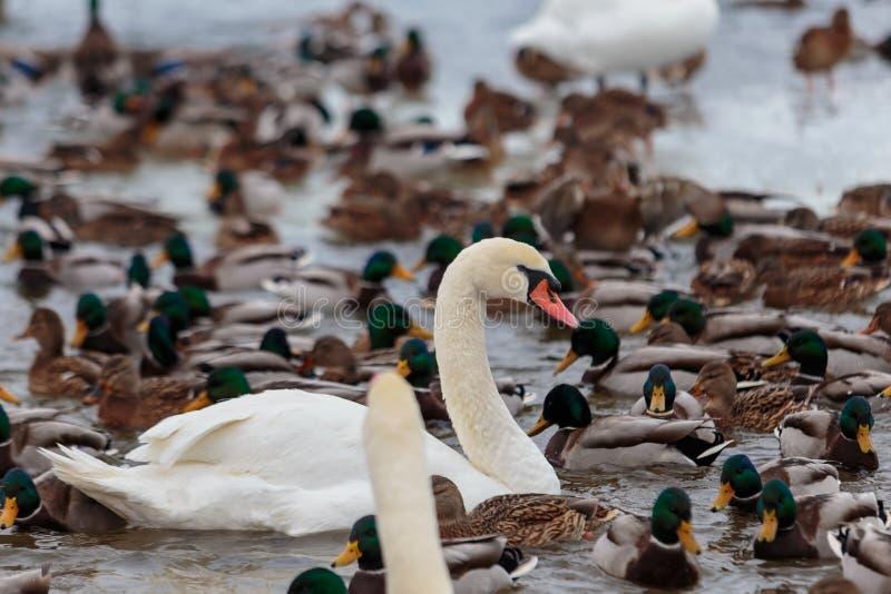 Die Höckerschwäne, die durch Enten umgeben werden, schwimmen im einfrierenden Winterfluß stockfotografie