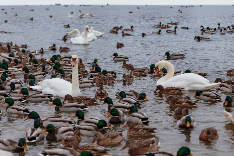 Die Höckerschwäne, die durch Enten umgeben werden, schwimmen im einfrierenden Winterfluß stockbild