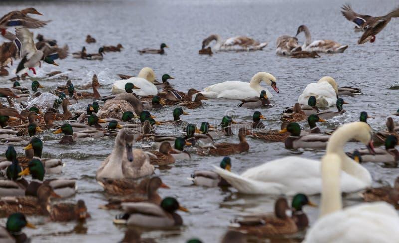 Die Höckerschwäne, die durch Enten umgeben werden, schwimmen im einfrierenden Winterfluß lizenzfreie stockbilder
