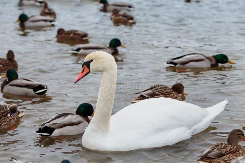 Die Höckerschwäne, die durch Enten umgeben werden, schwimmen im einfrierenden Winterfluß lizenzfreie stockfotografie