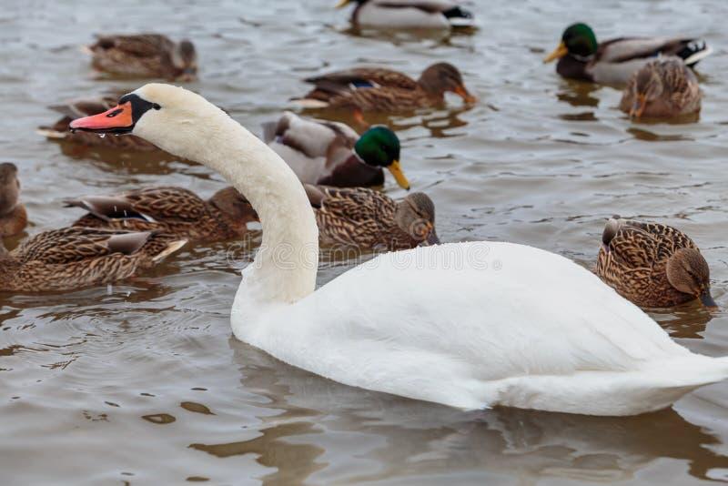 Die Höckerschwäne, die durch Enten umgeben werden, schwimmen im einfrierenden Winterfluß stockbilder
