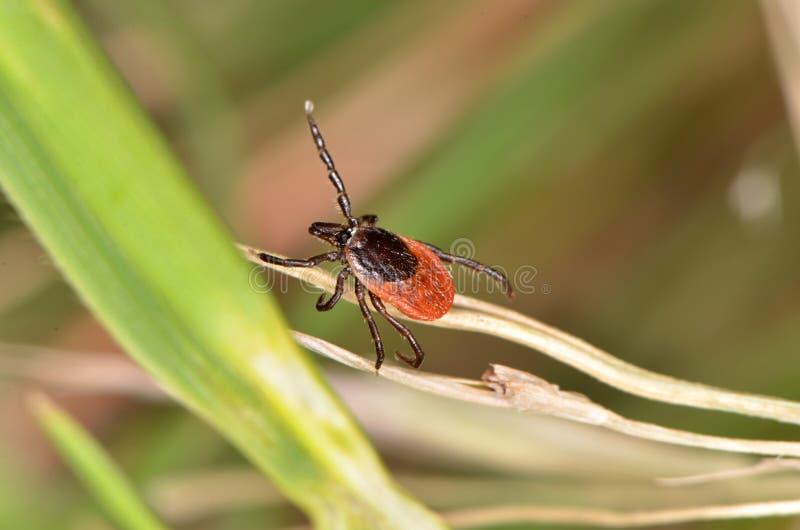 Die hölzerne Zecke (Ixodidae) lizenzfreies stockfoto