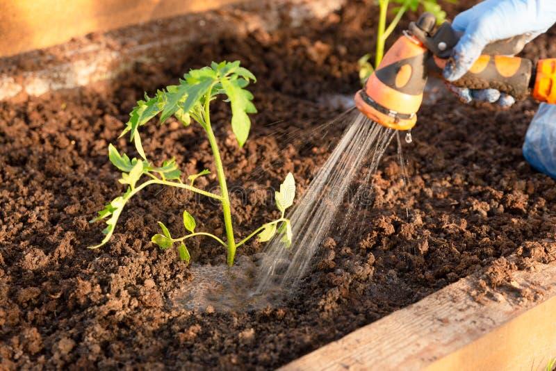 Die H?nde der Frau, die Tomatens?mlinge im Gew?chshaus pflanzen Organisches Gartenarbeit- und Wachstumskonzept stockfoto