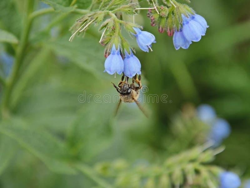 die Haarig-füßige Blumenbiene, die Nektar vom lungwort sammelt, blüht stockfotografie
